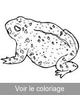 Grenouille coloriage grenouilles r alistes a imprimer - Dessin de crapaud ...